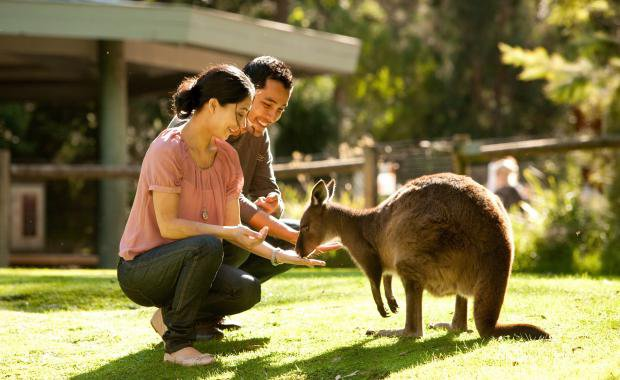 Healesville Sanctuary - Magic Moment Kangaroo.jpg