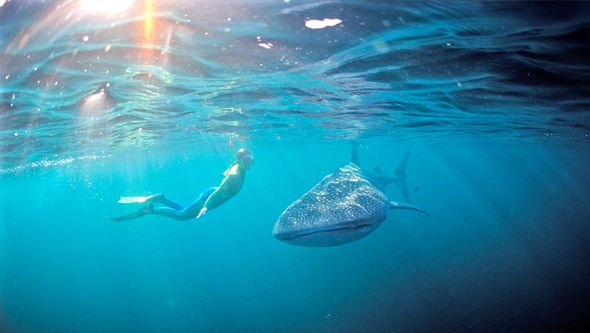 snorkelling with whale sharks ningaloo reef.jpg